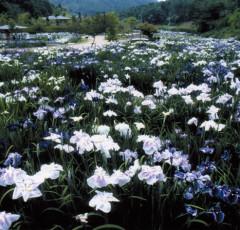 矢野温泉公園「四季の里」あやめ園