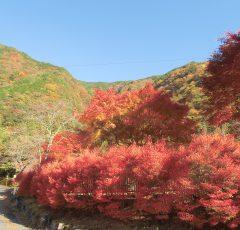 コンヤ温泉周辺の紅葉