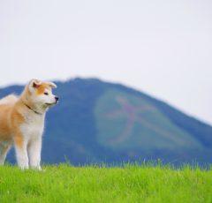 秋田犬と大文字
